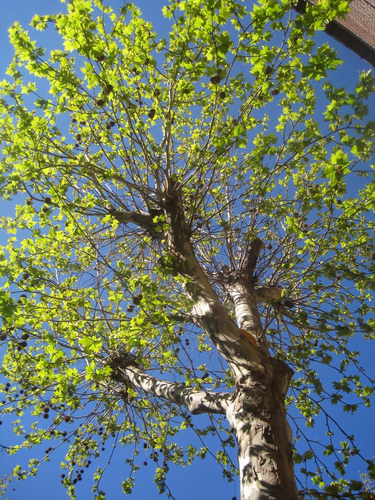 Rboles de primavera en dionisia plaza for Investigacion de arboles