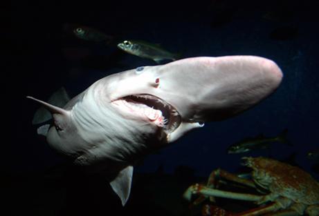070209 goblin shark big Ağzı Uzayan Köpekbalığı  ~ Goblin Shark