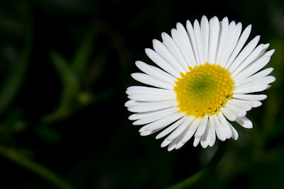 A macro photograph of a small Daisy