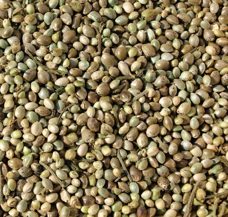 how to grow hemp seeds
