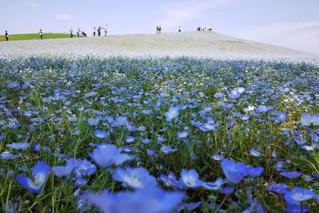 Nemophilas Blue