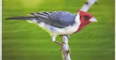 Cardeal - pássaro de extraordiária beleza - desenho final