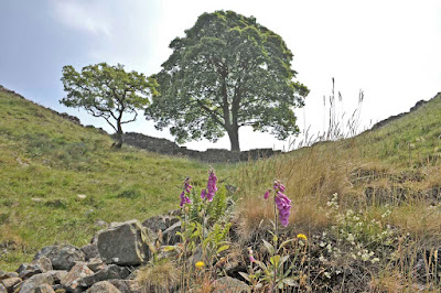 Foxgloves and rocks in the foreground, Sycamore Gap in the background