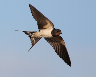 ласточка - миграция птиц
