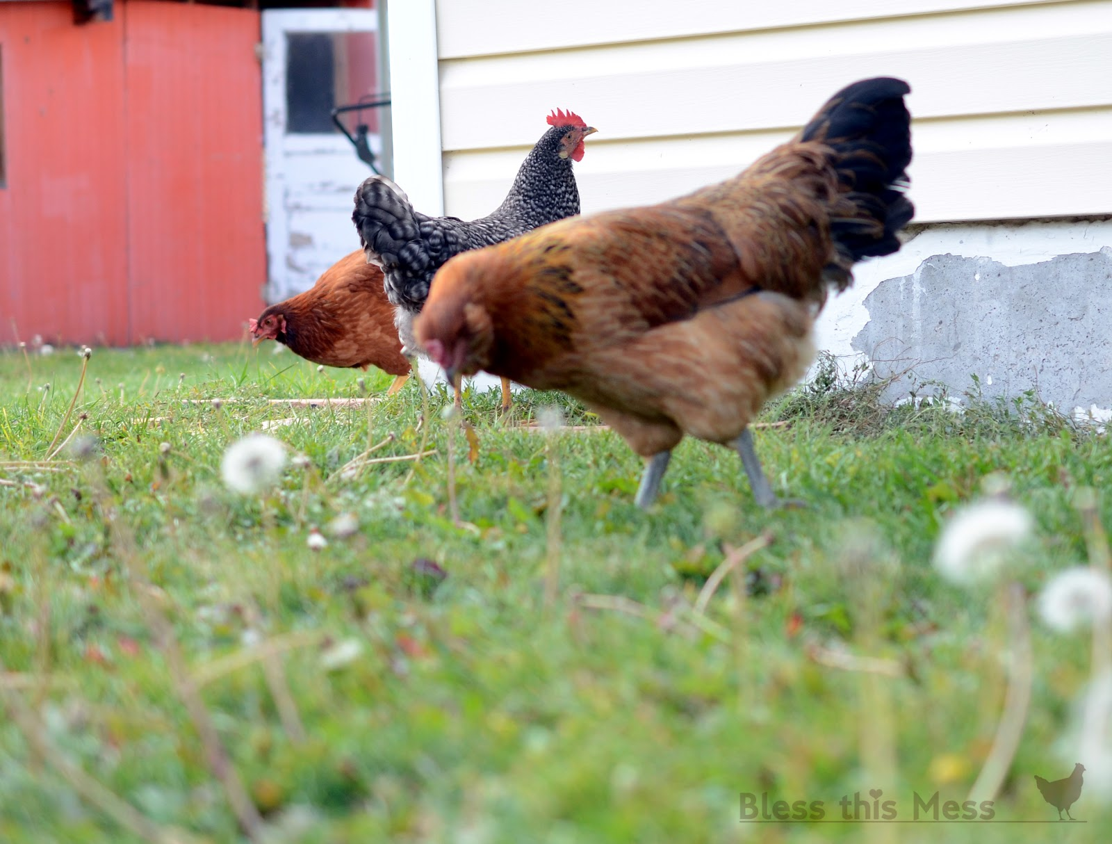 raising backyard chickens bless this mess