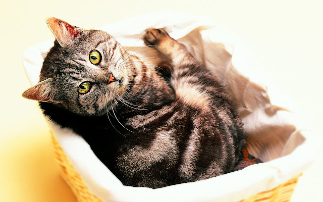 tabby cat, basket