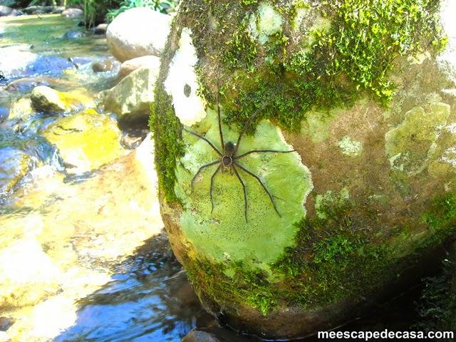 Araña a orillas del río Shilcayo (Cordillera Escalera, San Martín - Perú)
