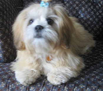 Lhasa Apso Puppies Pictures Information