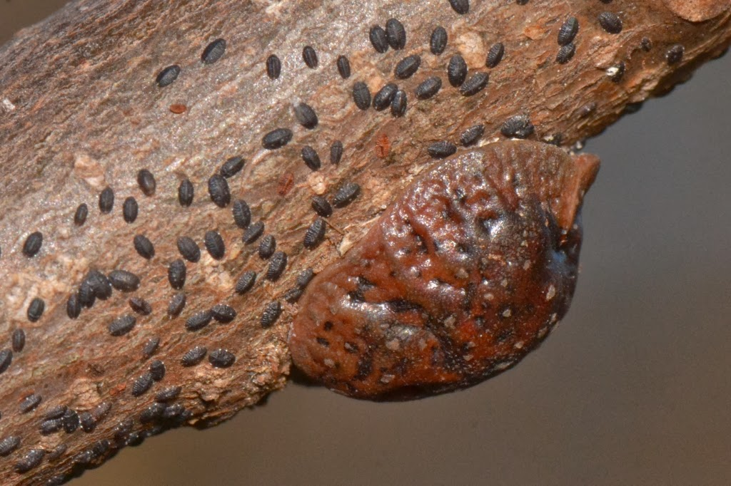 Tuliptree Scale insect crawlers overwintering on twigs