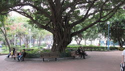 Banyan Tree.