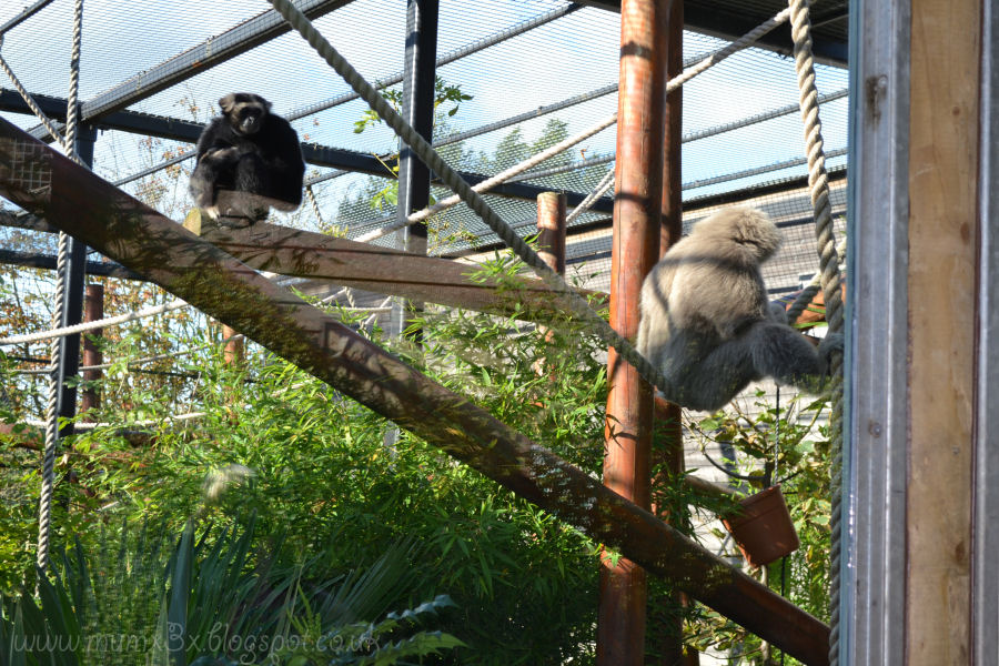 Monkey at colchester zoo @ ups and downs, smiles and frowns