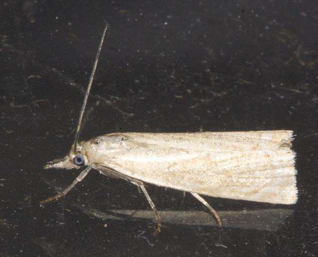 Garden Grass Veneer moth, Chrysoteuchia culmella.  Keston Common moth trap, 2 July 2011.