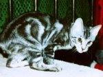 gambar kucing tabby classic