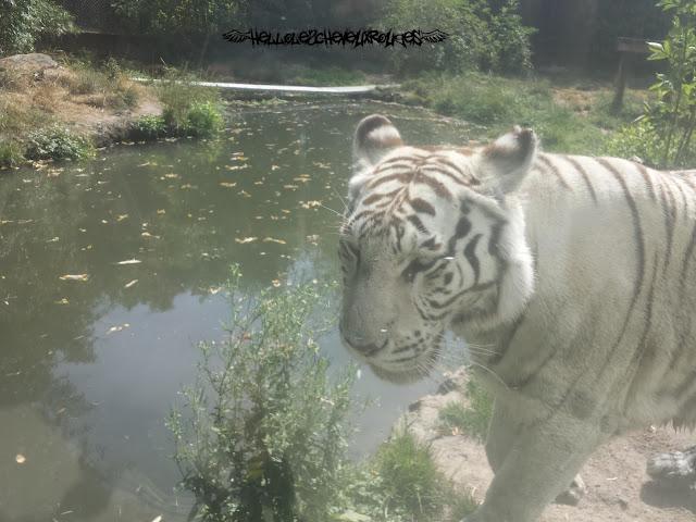 Tête tigre blanc à Touroparc