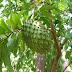 Klasifikasi Dan Morfologi Tanaman Sirsak (Annona muricata Linn)