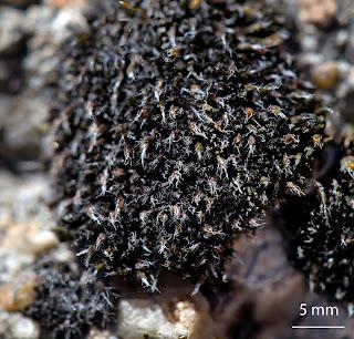 foto del musgo Grimmia anodon de la familia Grimmiaceae sobre granito