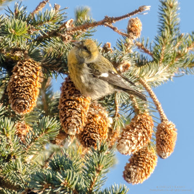 Gray-green female White-winged Crossbill.  photo  © Shelley Banks, all rights reserved.