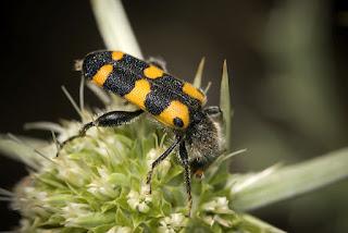 Para ampliar Trichodes leucopsideus (escarabajo ajedrezado) hacer clic