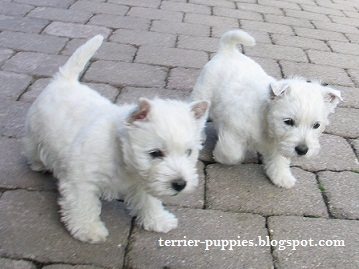 Terrier Dog Puppies Pictures