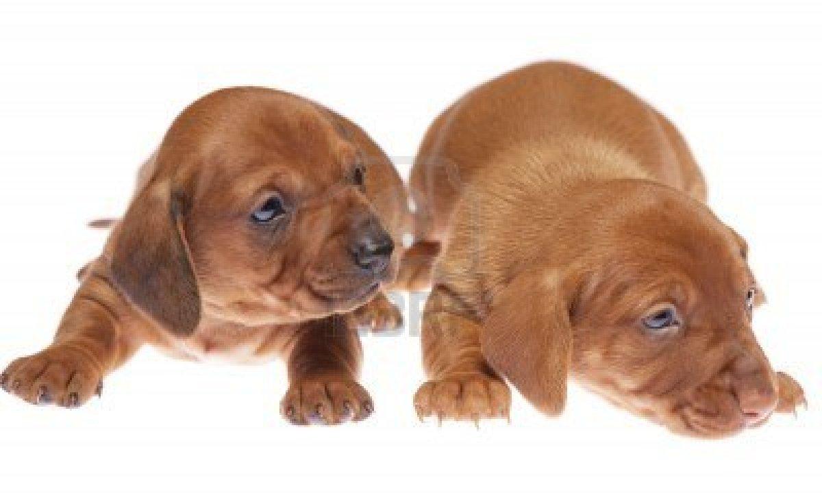 Cute dachshund puppies