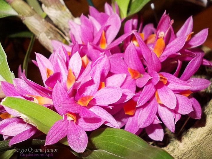 Dendrobium tanii
