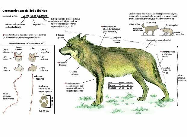 El Lobo Ibérico - ThingLink