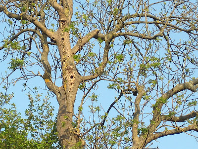 Ash tree with woodpecker holes at High Elms Country Park.  1 May 2011.