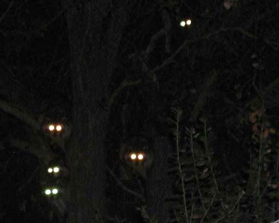 Bear eyes at night - photo#4