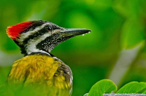 Foto Burung Pelatuk Brambang Terbaik