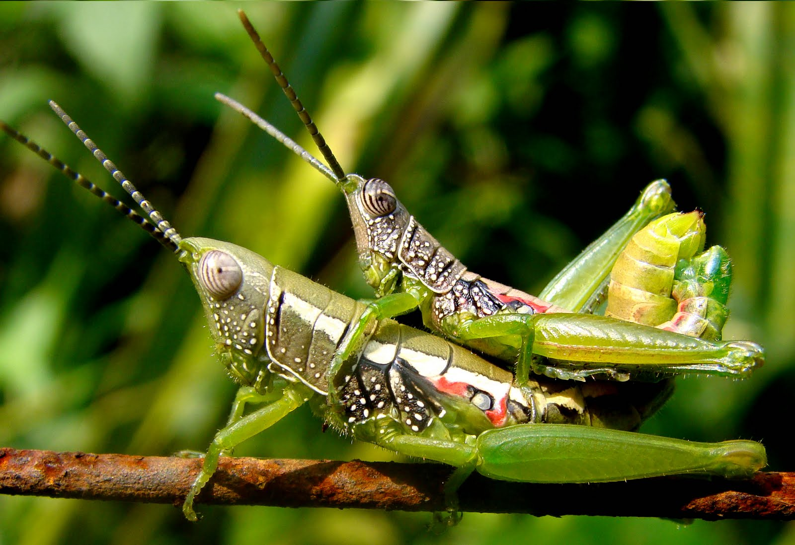 Insects of Kerala: GRA...