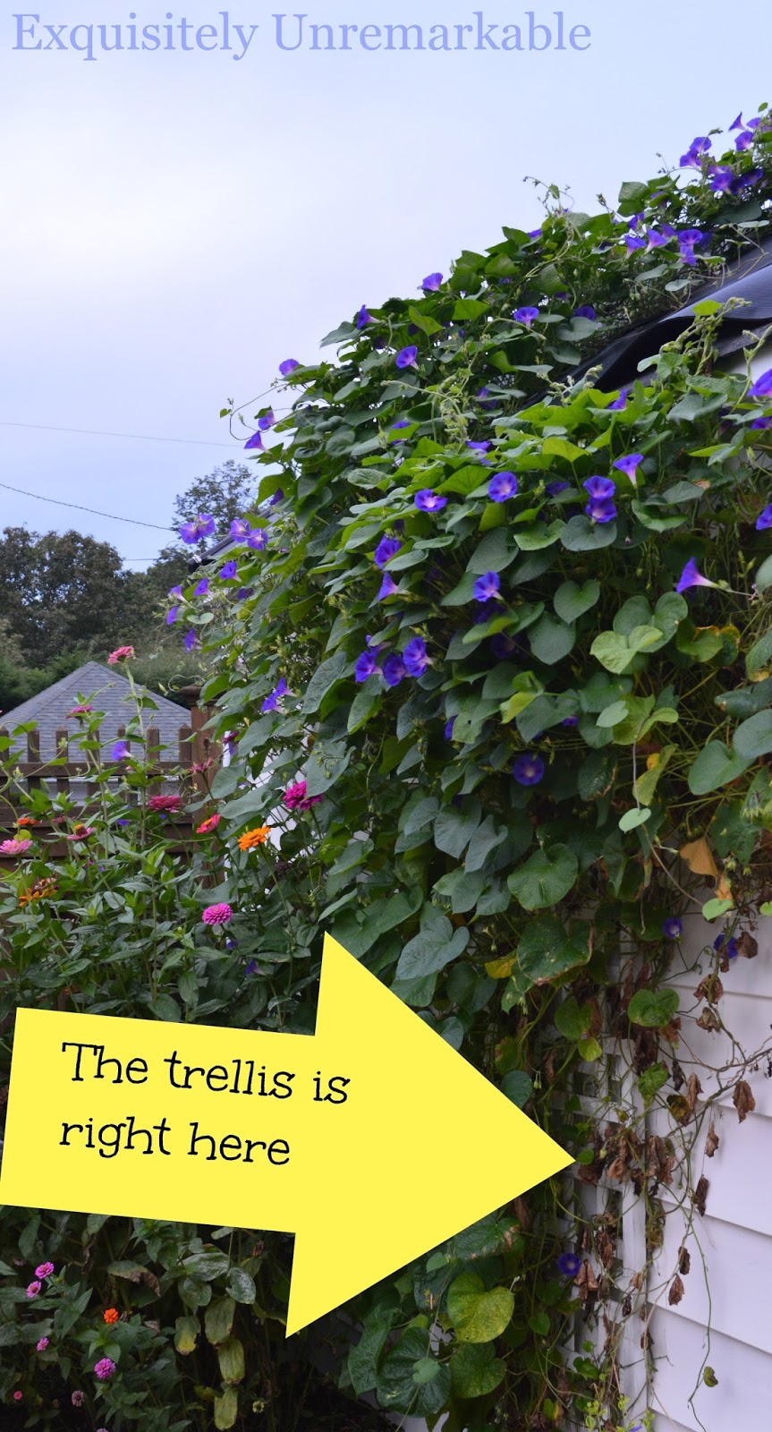 How To Train A Climbing Vine On A Trellis |Exquisitely ...