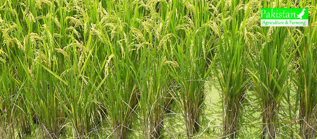 List of rice diseases in Pakistan