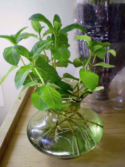 how to grow mint cuttings in water