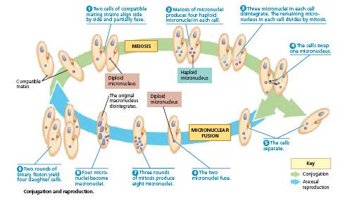 Konjugasi Dan Reproduksi Paramecium Wartos Biologi