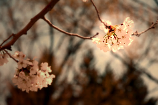 Hanami In High Park Photos