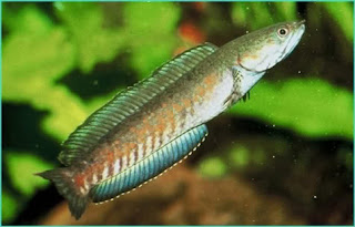 rahasia ikan gabus