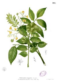 Pohon Angsana..,Raksasa yang bisa jadi Herbal....!!!| http://indonesiatanahairku-indonesia.blogspot.com/