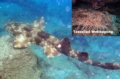 Tasselled Wobbegong Shark for Hone Marine Aquarium