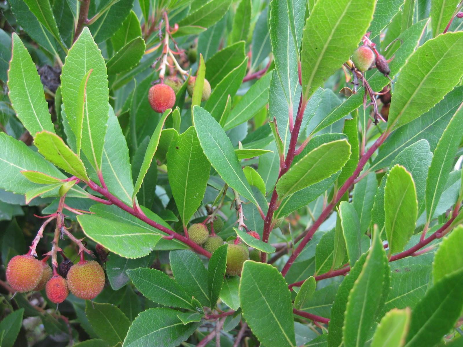trees of santa cruz county  arbutus unedo