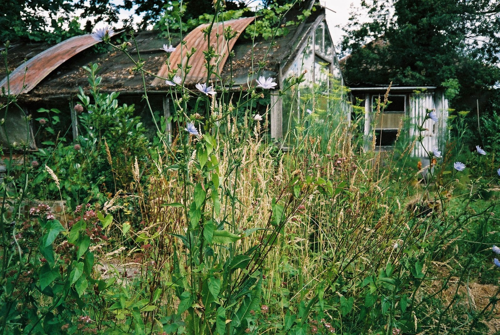WILD FLOWERS, SUBURBAN FOARGING, FENNEL, CHICORY, MARGORAM, DERELICT BUILDINGS, SUBURBIA, CORRUGATED IRON ROOF, © VAC 100 DAYS 4 MILLION CONVERSATIONS, 2015 GENERAL ELECTION