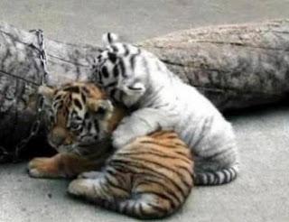 Tiger Kittens