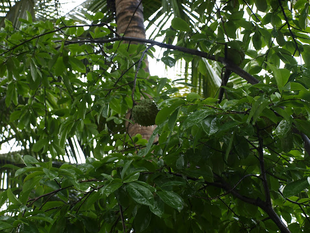 soursop growing on a tree