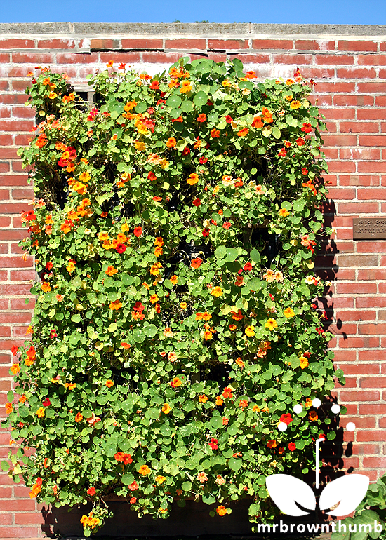 nasturtium living wall Chicago Botanic Garden