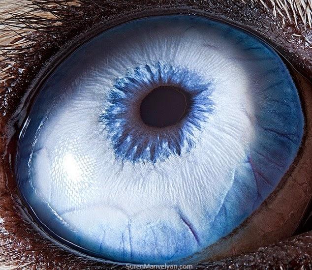 ojo de husky siberiano