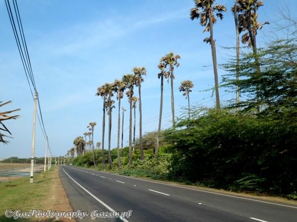 Palmyra palm tree at Hambantota