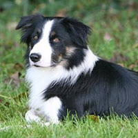 perro Collie