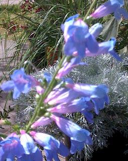 Penstemon heterophyllus, Magarita B.O.P.