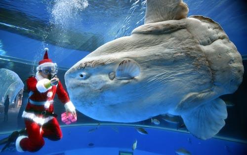 Mengenal Ikan Mola Mola Raksasa Laut Tanpa Ekor