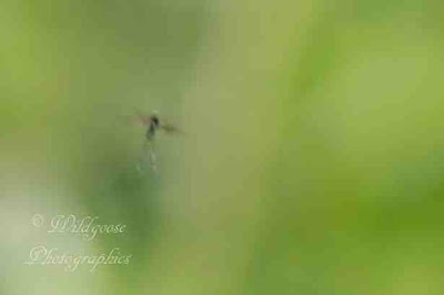 The tiny mysterious creature flying near the flower