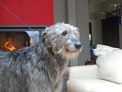 belgian wolfhound